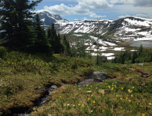 Healy Pass still has lingering snowpatches, but glacier lilies are bursting into bloom as the snow recedes. 2015 may set a record for early hiking in the high country. Kevin Van Tigham photo.