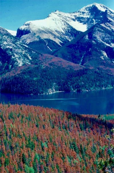 Last summer's fire isn't the first time Waterton's forests have been decimated. In the late 1970s, the park bore the brunt of a mountain pine beetle outbreak the killed thousands of pine trees in the Waterton Valley, as illustrated by this 1980 Parks Canada photo.