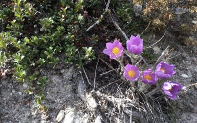 Wildflowers and wood ticks: Spring hikes in the Mountain Parks